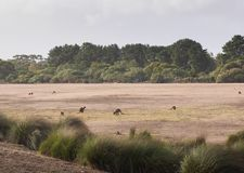 Canguri selvaggi in Australia fotografia stock