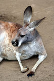 Canguro Fotografia Stock Libera da Diritti