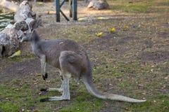 Canguro adulto nello zoo di Belgrado immagine stock libera da diritti