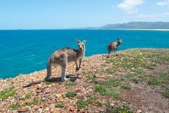 Canguro alto chiuso Coffs Harbour, NSW, Australia Immagine Stock Libera da Diritti