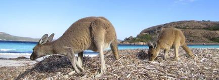 Canguro, Australia fotografia stock libera da diritti