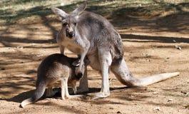 Canguro australiano Imágenes de archivo libres de regalías