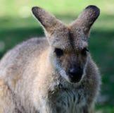Canguro australiano Fotografia Stock
