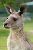 Canguro australiano Fotografia Stock Libera da Diritti