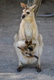 Canguro australiano con Joey en bolsa imagenes de archivo