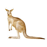 Canguro australiano isolato su un fondo bianco Fotografie Stock