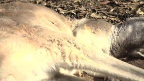Canguro australiano lindo metrajes