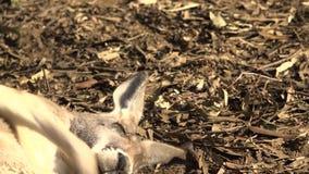 Canguro australiano lindo almacen de metraje de vídeo