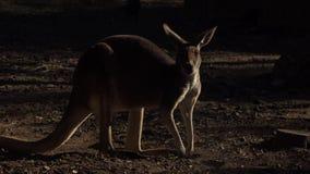 Canguro australiano lindo almacen de video