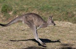 Canguro australiano mientras que salta cerca encima del retrato imágenes de archivo libres de regalías