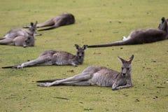 Canguro australiano sveglio del gruppo che si trova sul campo e sul rilassamento verdi di golf fotografie stock