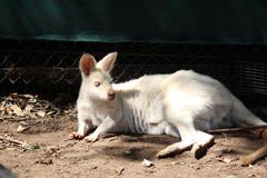 Canguro bianco Fotografia Stock