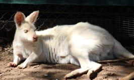 Canguro blanco Fotografía de archivo
