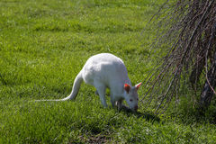 Canguro blanco en hierba Imágenes de archivo libres de regalías