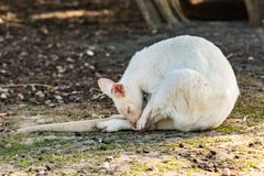 Canguro blanco que limpia su cola Imágenes de archivo libres de regalías