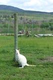 Canguro blanco que se sienta por los posts de la cerca en campo de hierba Imágenes de archivo libres de regalías