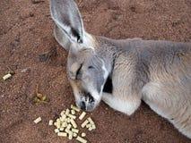 Canguro che dorme nell'australiano dello zoo Fotografie Stock