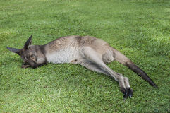 Canguro che dorme su un'erba Fotografia Stock