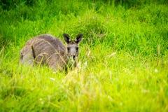 Canguro che si nasconde nell'erba in Victoria, Australia Fotografia Stock