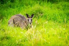 Canguro che si nasconde nell'erba in Victoria, Australia fotografia stock libera da diritti