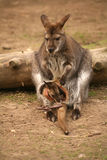 Canguro con el bebé Fotos de archivo libres de regalías