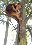 Canguro de árbol Fotografía de archivo libre de regalías