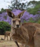 Canguro de Brisbane Fotografía de archivo libre de regalías