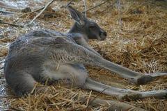 Canguro de Gray Australian en una tarde de enero en el parque zoológico de Belgorod foto de archivo libre de regalías