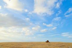 Canguro debajo del cielo azul Imágenes de archivo libres de regalías