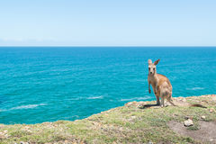Canguro del bambino a Coffs Harbour Fotografia Stock