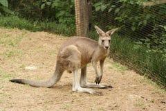 Canguro del bebé en el parque zoológico imagenes de archivo