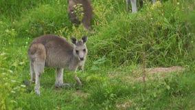 Canguro del bebé que come reservado la hierba en el salvaje en Australia almacen de metraje de vídeo