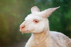 Canguro dell'albino Immagini Stock