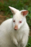 Canguro dell'albino (wallaby) Immagine Stock