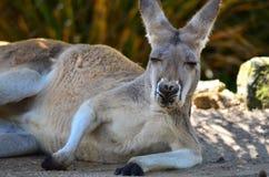Canguro dello zoo di Taronga Fotografia Stock