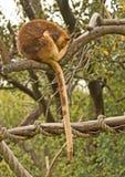Canguro di albero Immagini Stock Libere da Diritti