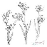 Canguro disegnato a mano Paw Flowers Set Immagine Stock Libera da Diritti