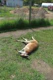 Canguro dormido en hierba Fotos de archivo libres de regalías