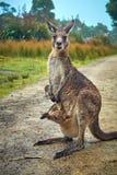 Canguro e bambino in sacchetto Immagine Stock