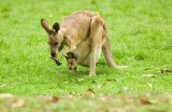 Canguro e joey Fotografia Stock Libera da Diritti