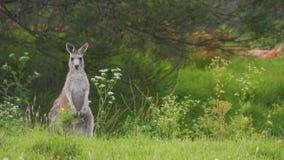 Canguro en alarma en sus piernas traseras en Australia metrajes