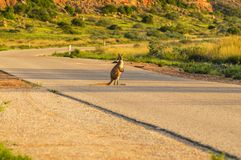 Canguro en el camino Imagenes de archivo