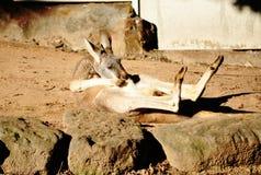 Canguro en la acción divertida Foto de archivo