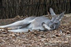 Canguro en Sydney Taronga Zoo fotografía de archivo libre de regalías