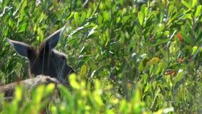 Canguro entre las plantas en parque del Le Grand National del cabo metrajes