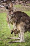 Canguro grigio con un bambino Fotografie Stock