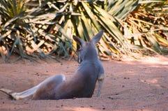 Canguro grigio nel selvaggio fotografie stock libere da diritti