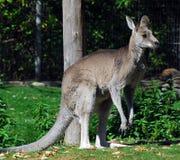 Canguro grigio orientale fotografia stock libera da diritti