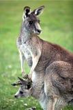 Canguro grigio orientale Fotografie Stock Libere da Diritti