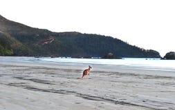 Canguro grigio orientale australiano, hillsborough del capo Fotografie Stock